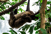 Mom and baby hanging sleeping Two-toed sloth
