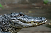An American Alligator Resting in Warmth of the Sun