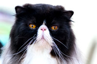 Persian Black and White Adorable Cat