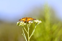 Orange Black butterfly on tip white weed