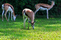 Three Springbok