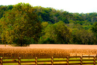 Fence lined cornfield with tree