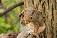Fox Squirrel ninja