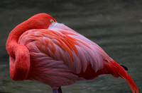 Caribbean Flamingo neck curved with beak hidden