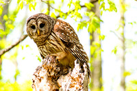 Barred Hoot Owl perched holding rodent
