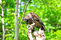 Barred Owl eating rodent perched a top of dead tree