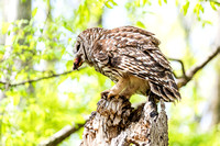 Barred Owl perched with meat in its beak