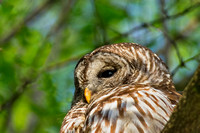 Hoot Owl Barred Owl Picture