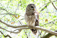 Landscape view of Barred Owl perched on limb
