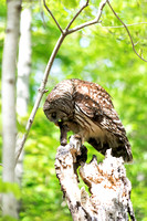 On top of dead tree Barred Owl perched eating