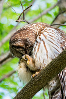 Perched on limb Barred Owl Photograph
