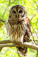 Portrait of Barred Owl perched on small limb