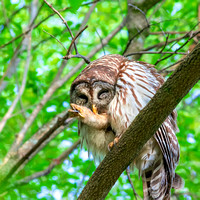 Square sized photo of Barred Owl grooming