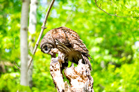 Strix Varia Barred Owl on top of dead tree with meal