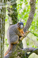 Snacking on wood Fox Squirrel