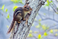 Chipmunk resting on limb landscape view
