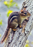 Chipmunk resting on limb portrait view