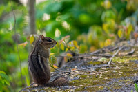 Chipmunk standing up on side of trail
