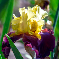 Artistic rendering of burgundy yellow iris