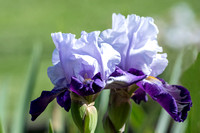 Two lovely artistic rendered lavendar purple irises