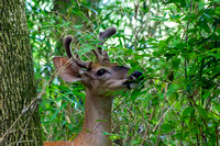 Young buck grazing on tree leaves