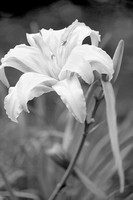 Black and white painterly effect of Asiatic Lily