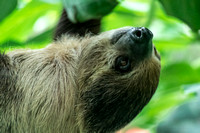 Close view of young male sloth hanging upside down