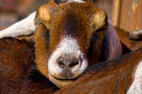 Critter Encounters Nubian Goat sleeping with a smile