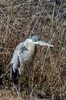 A Blue Heron visited the Nashville Zoo