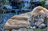 Cougar head down with waterfall behind him