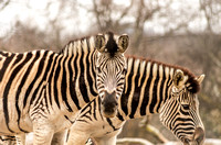 Zebras-Elands-Antelopes