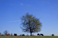 Two Oreo cows to the right of tree