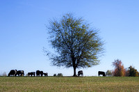 Oreo cows in field under tree