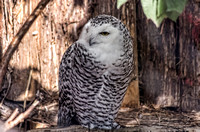 Snowy owl female head turned perched on limb Critter Encounter