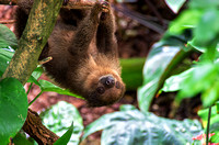 Two-toed Sloth youngster