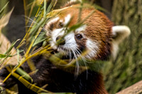 Phayara a Red Panda hiding behind bamboo leaves