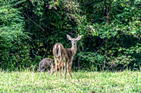 Doe looking back as fawn eats Peeler Park