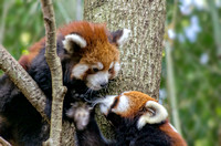 Qiji Red Panda and Phayara close