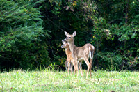Doe and fawn watching for others Peeler Park