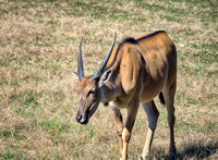 Eland walking about