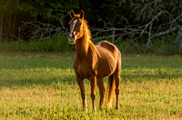 The perfect sunshine brown horse