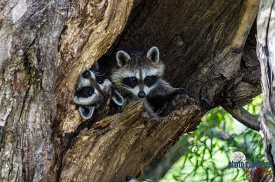 Two baby raccoons in tree Murfree Spring Wetlands