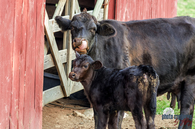 Calf Next to Heifer With Tongue In Snout Farm Middle TN