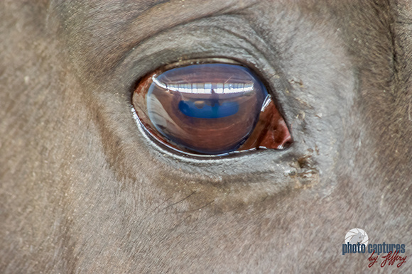 Brown eyed beauty Mounted Police Horse