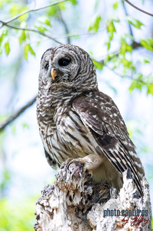 Portrait of Hoot Barred Owl perched