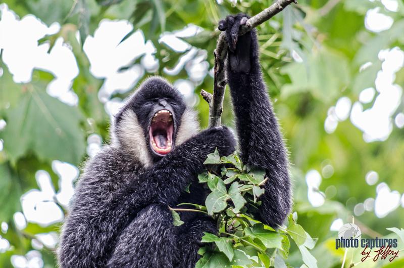 Ari white-cheeked gibbon in full yawn