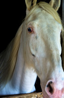 Painterly effect on white Metro Mounted Patrol horse