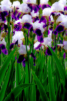 Patch of Purple and White Tall Bearded Iris Grassmere