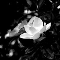 Black and White Southern Magnolia Ellington Ag Center