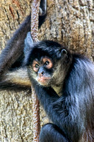 Mexican Spider Monkey arm bent hanging on vine